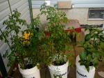 Tomato plants in the backyard