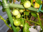 Fruits of labour - tomatoes