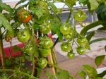 Ripened Tomatoes